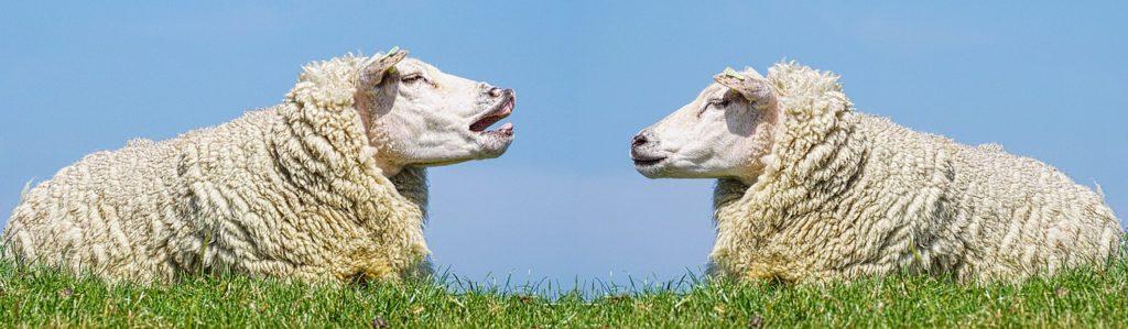 向き合う2匹の羊